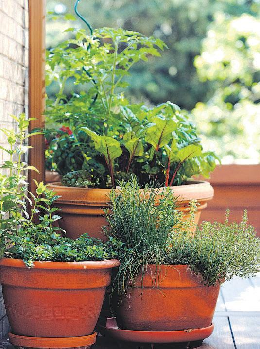 The container gardens of Sheila Schultz ather Denver home. These are containers with tomatoes, rhubarb, and herbs.