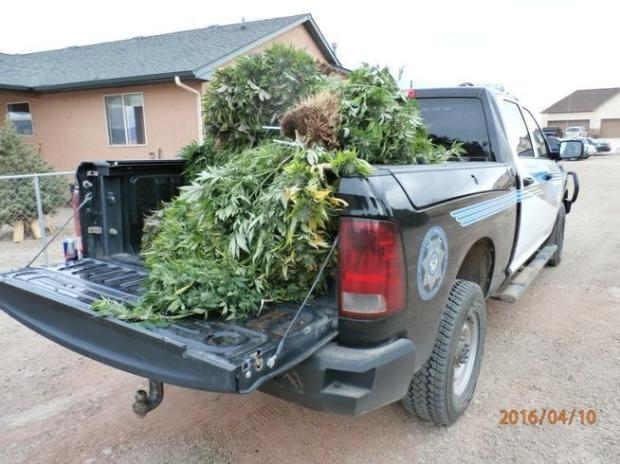 Pueblo authorities seized 79 marijuana plants at a home inhabited by two Russian immigrants, Olga Berina and Evegnly Groshikov, who recently moved to southern Colorado.