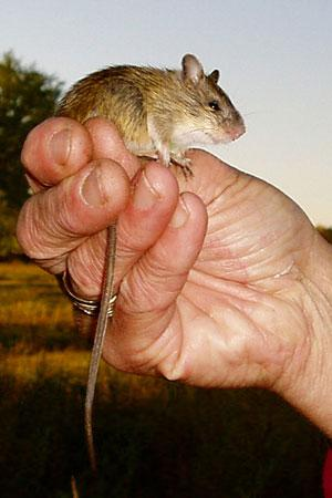The status of the Preble's meadow jumping mouse affects development plans inColorado and elsewhere.