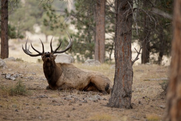 An elk bugling in the trees in Rocky Mountain National Park on Tuesday, Sept. 23, 2015.