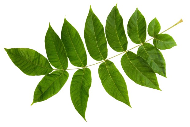 Green leaf of ash-tree isolated on white background