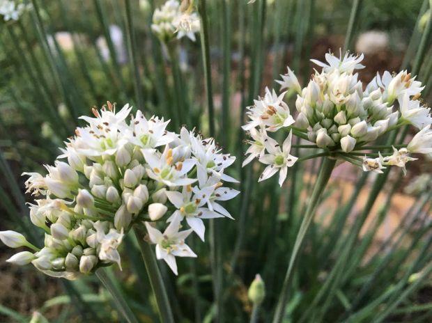 Garlic chive flower.