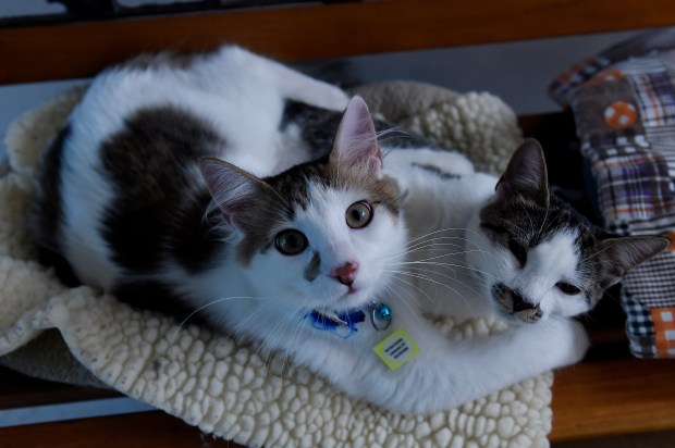 Two cats play on a bench at Cat Care Society in Lakewood , Colorado on September 7, 2016. The Cat Care Society in Lakewood is growing and expanding this year.