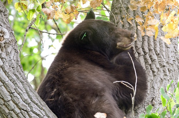 A black bear sits in a  tree in Boulder on Sept. 22, 2015.  Colorado Parks and Wildlife is considering raising the number of bears and cougars it kills to boost the state's deer population.
