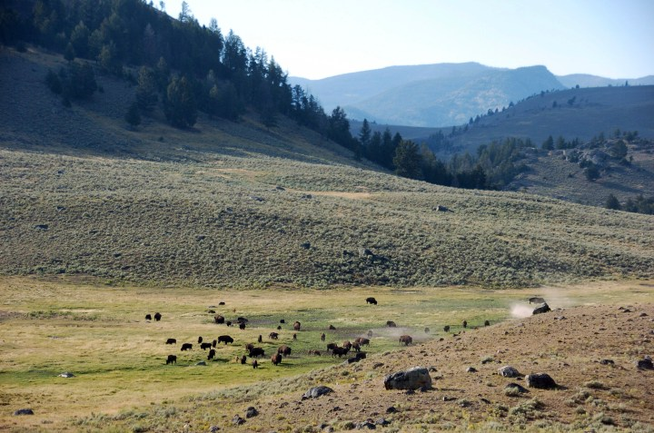 In this Aug. 26, 2016, file photo, a herd of bison appears in Yellowstone National Park's Lamar Valley in Montana.