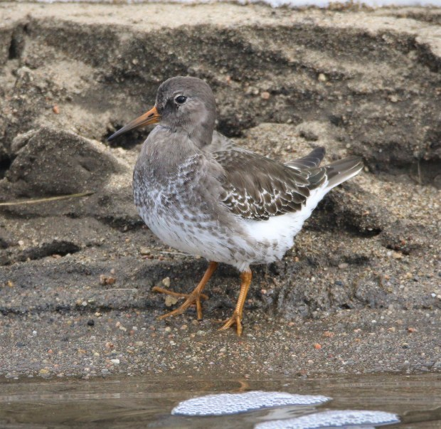 This purple sandpiper is the first recorded sighting of the North Atlantic bird in Colorado. Jack and Ryan Bushong, 13-year-old twins and avid birders, recorded the first-ever sighting on the shores of Dillon Reservoir on Friday, Dec. 16, 2016.