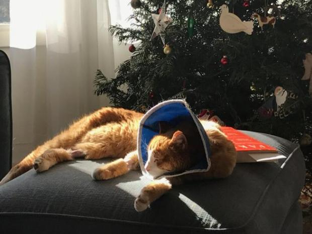 Max the cat sits in front of the Christmas tree after returning to his Boulder home following 50 days lost outside.