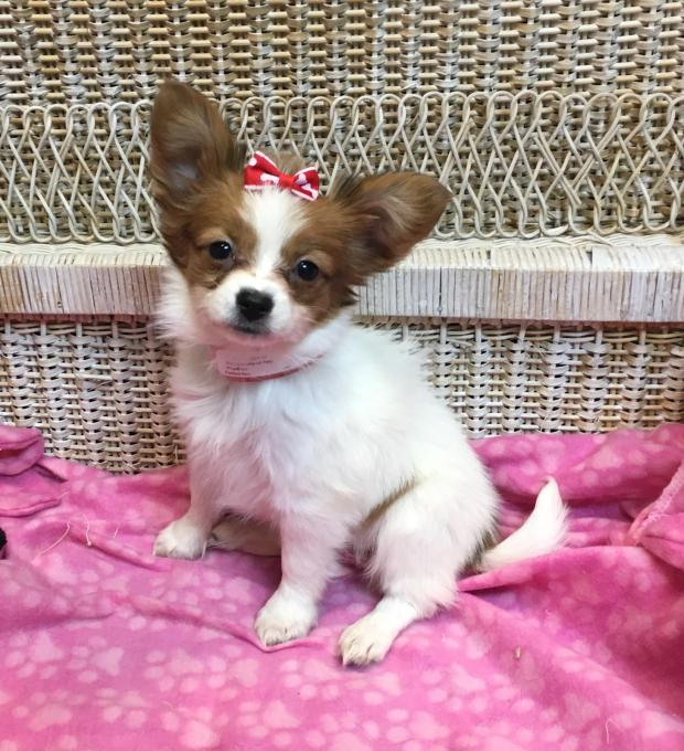 Alleged thieves of papillon puppy arrested in lakewood the denver post - Petshop papillon ...