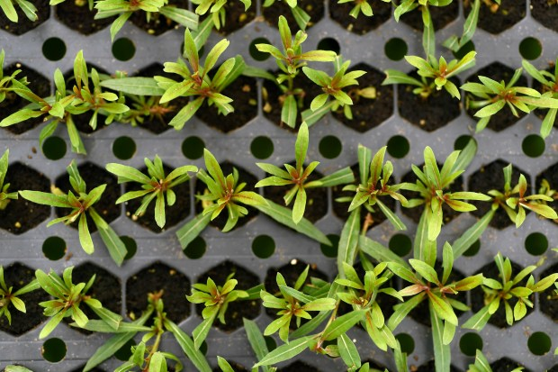 These are 6 week old Belleza Pink Gaura flower seedlings growing at Tagawa Gardens on February 6, 2017 in Centennial, Colorado. Tagawa Gardens' garden advisor Linda Larsen, who is also a master gardener and bee keeper, goes through a step by step process on how to begin the process of cultivating seeds to plants for your summer garden.