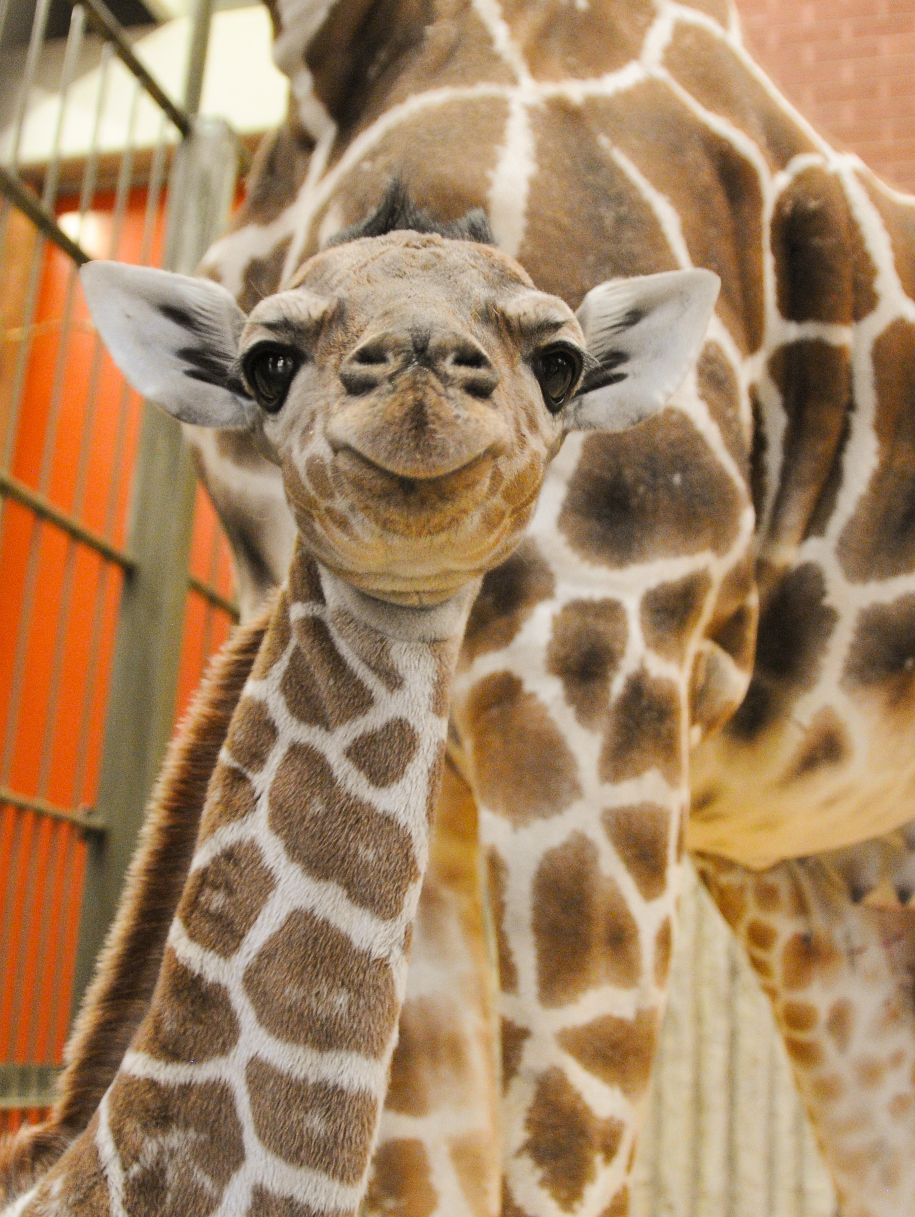 Baby giraffe Dobby was born at the Denver Zoo on Feb. 28, 2017.