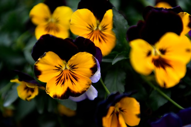 Trailing pansies in bloom in their ...