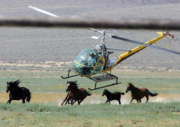 A helicopter pilot rounds up wild horses in Nevada on July 13, 2008. President Donald Trump's budget proposal calls for saving $10 million next year by selling wild horses captured throughout the West. Current law requires that buyers of wild horses won't resell them for slaughter, but Trump's proposal would remove that restriction.