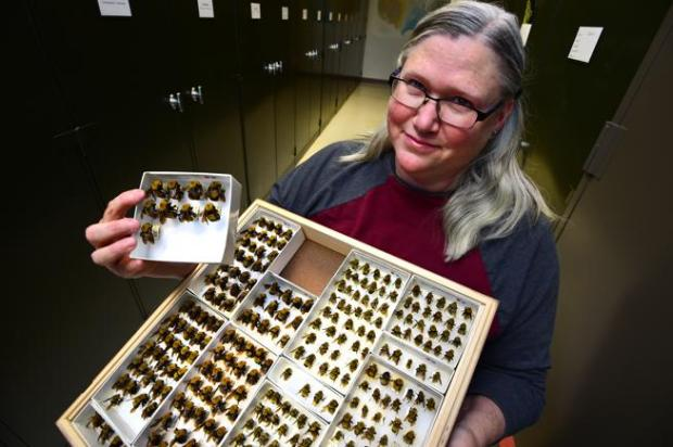 Virginia Scott, Entomology Collection manager for the University of Colorado Museum of Natural History, with a tray of Bombus morrisoni a species of bumblebee that is native to western North America.