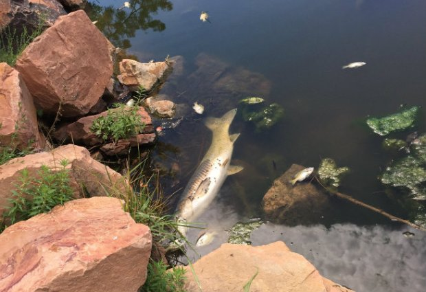 Dead fish can be seen floating at Tantra Lake in Boulder.