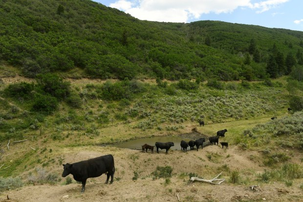 Cattle belonging to longtime rancher Susan Robinson drink at a watering hole on June 28, 2017 near Rifle.