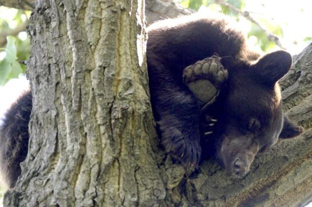 A bear nap in a cottonwood tree about 40 feet off the ground along Left Hand Creek, east of Hover Street, Monday in Longmont.