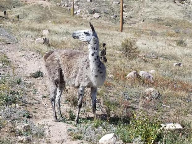 A light brown llama with black spots is running wild near Mahoney Park in Bobcat Ridge Natural Area northwest of Loveland. Fort Collins Natural Areas are trying to reunite the stray with its owner.