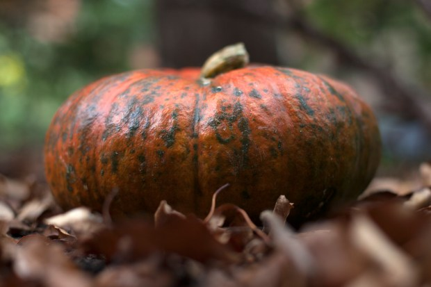 A baked cinderella pumpkin on September 27, 2017. A Cinderella pumpkin is stringier and less sweet than a Jarrahdale and very yam-like when cooked.