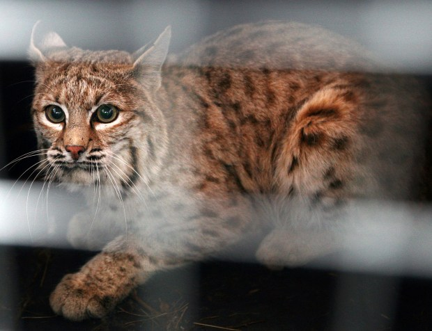 Colorado wildlife commissioners reject ban on trapping and trophy hunting of bobcats