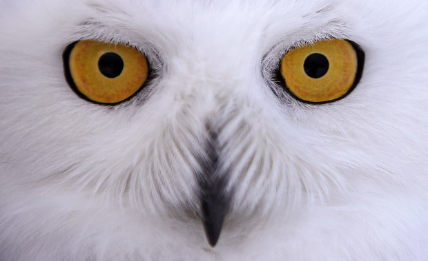 In this Dec. 14, 2017 photo a snowy owl stares prior being released along the shore of Duxbury Beach in Duxbury, Mass.
