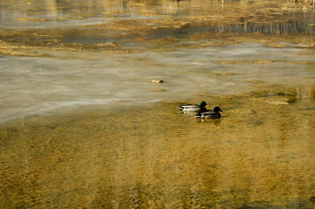 Ducks float in the water in the lower St. Louis ponds at the Rico-Argentine mine site on December 12, 2017 in Rico, Colorado. The lower ponds are clean and on the way back to being in their more natural state. The site is in the process of using experimental processes to help clean metal contaminants from the water that flows out of the St. Louis tunnel.