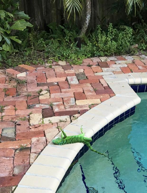 An iguana that froze lies near ...