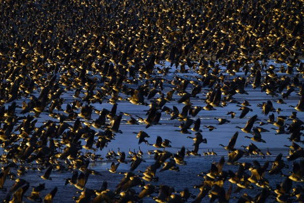 """Thousands of geese fly from Aurora Reservoir on Jan. 9 in Aurora. Denver Field Ornithologists, a group of Colorado birders, is chasing a """"big group year,"""" meaning its members are trying to spot as many bird species as it can in 2018."""
