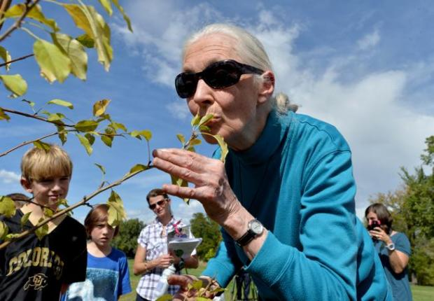 Jane Goodall kisses one of 10 spring snow crabapple trees she helped plant with students in the Gombe Grove at Horizons K-8 School in Boulder during a visit on Oct. 1, 2015.