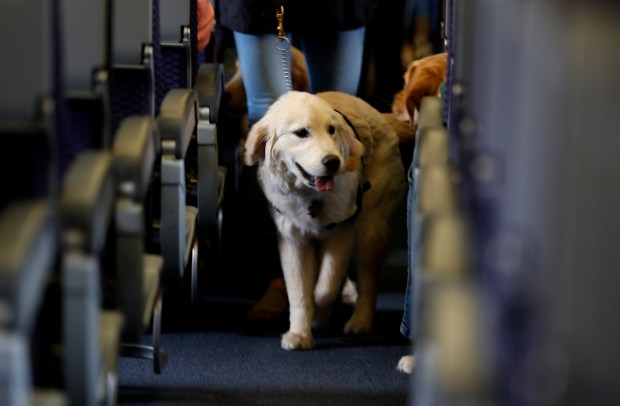 A service dog takes part in a training exercise inside a United Airlines plane at Newark Liberty International Airport on April 1, 2017. After a woman recently attempted to bring a peacock on a United flight out of Newark, saying it was her emotional-support animal, the airline announced a stricter policy on traveling animals.