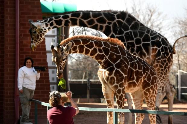 Giraffe keeper Jennifer Calloway gives Dobby, ...