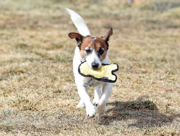 Sparky, a 10-year-old retired drug detection dog, plays with one of his favorite toys Monday in his backyard south of Berthoud. Sparky is competing in an online competition called American Humane Hero Dog Award.