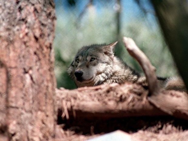A wolf at the Mission: Wolf sanctuary in Silver Cliff.