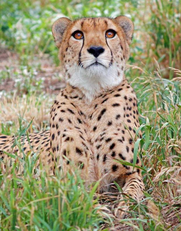 Marvin the Cheetah passed away Wednesday at the Denver Zoo after struggling with health problems.
