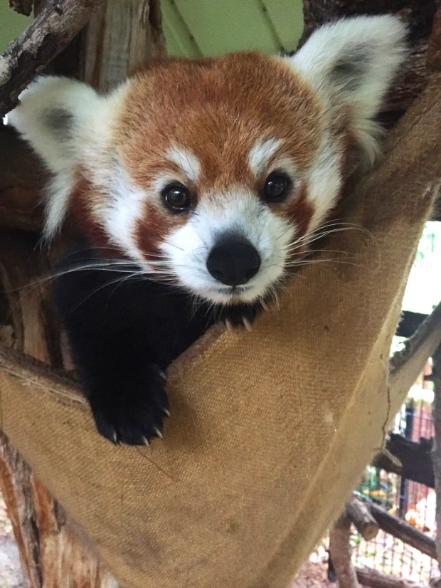 The Pueblo Zoo's 3-year-old red panda Phi died unexpectedly.