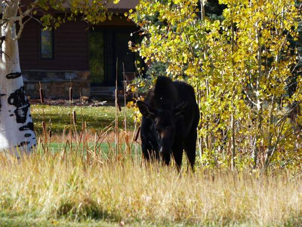A moose was seen in Snowmass Village last summer. There has been an increase in moose sightings in the area this spring, town officials said this week.