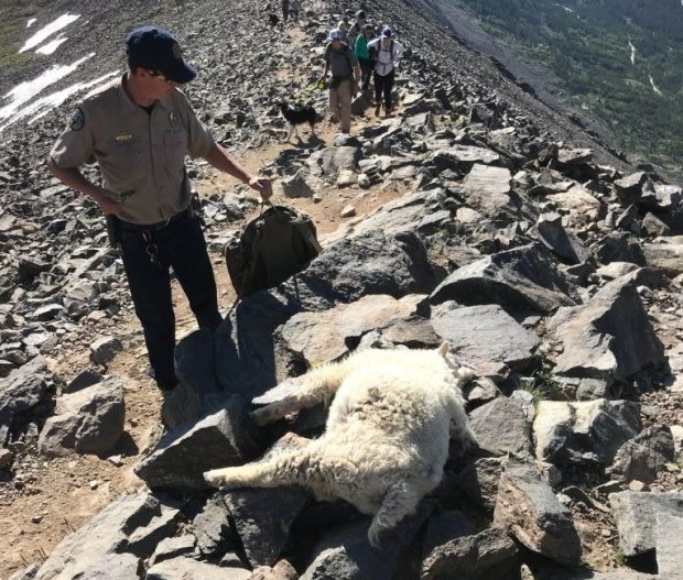Denver Shooting July 2018: $15K Reward Offered In Killing Of Quandary Peak Mountain Goats