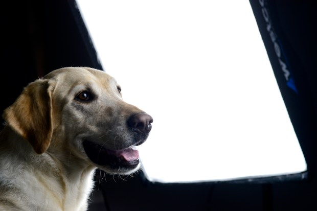 Doug, a yellow labrador owned by Cindy Gordon, poses for a portrait
