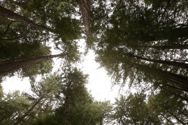 Coastal Redwood trees stand at Muir ...