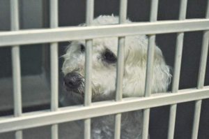 A stray dog looks out her cage after the Fourth of July in 2015 at the Weld County Humane Society in Evans. The humane society has closed its doors for up to two weeks to prevent the spread of Strep Zoo.