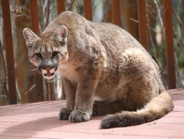 A mountain lion that was spotted at a north Boulder home in 2017.