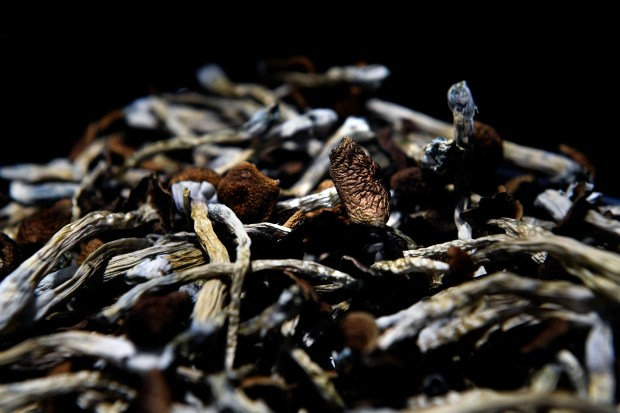 Mazatec psilocybin mushrooms dried and ready ...
