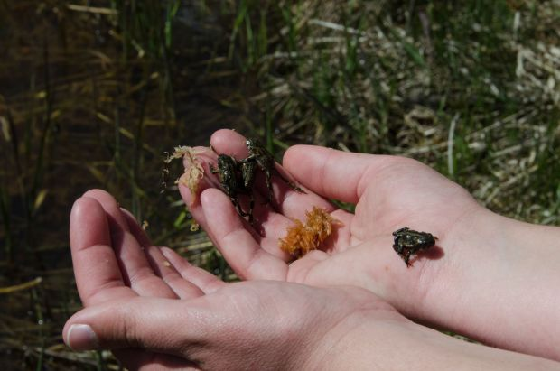 More than 620 toads released by Denver Zoo in southwestern Utah