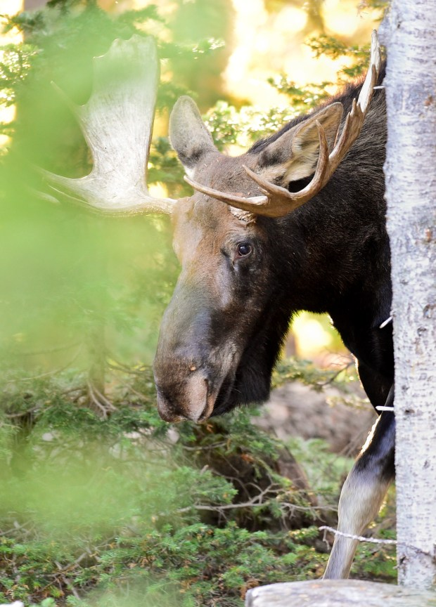 A moose in the Brainard Lake ...