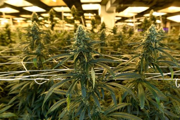 Flowering marijuana plants grow at the ...