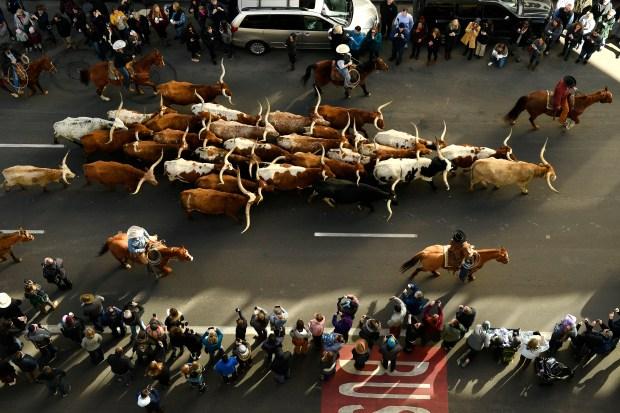 Longhorn steer lead the annual National ...