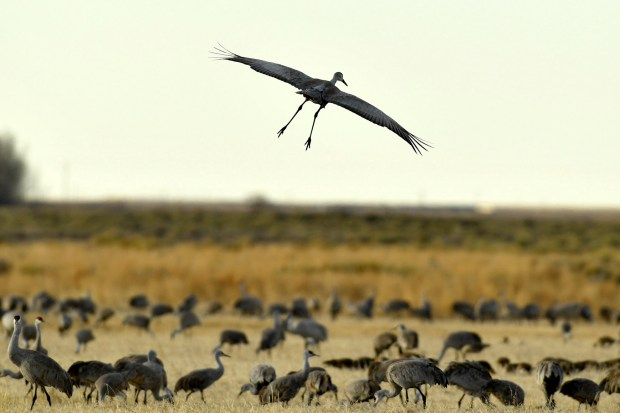 Sandhill cranes land in fields to ...