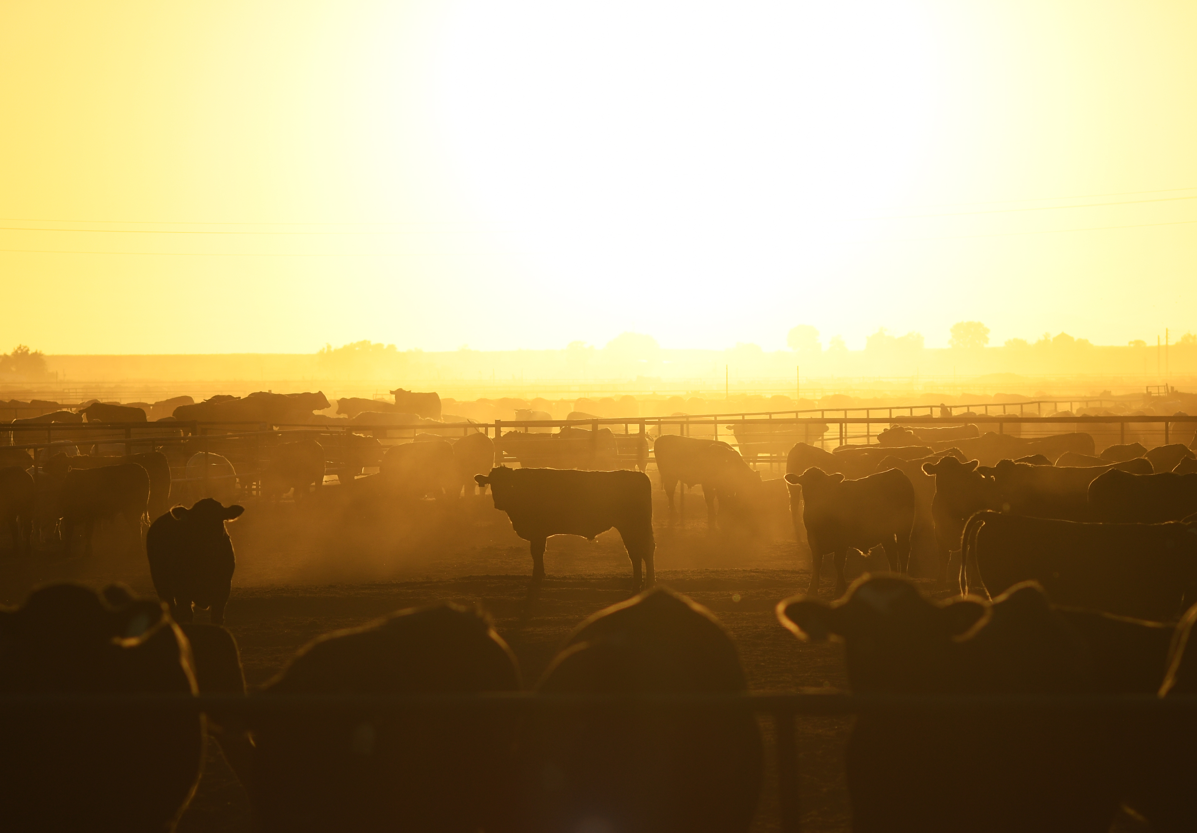 The sun sets over cattle at ...