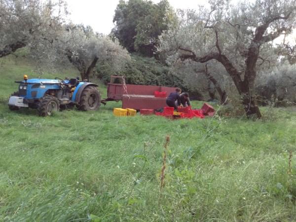 raccolta_olive