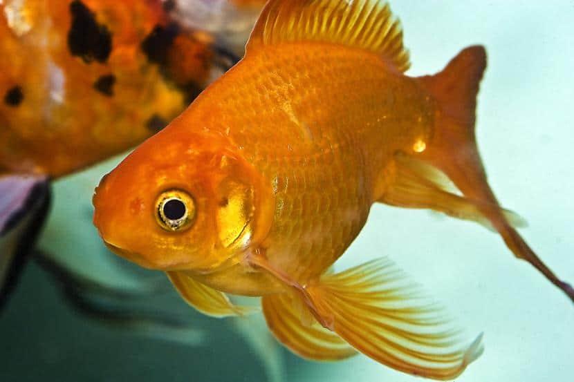Temperatura ideal para los peces tropicales de agua dulce for Temperatura para peces tropicales acuario