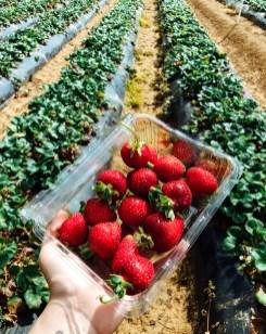 bruna-vieira-Sunny Ridge Strawberries 2